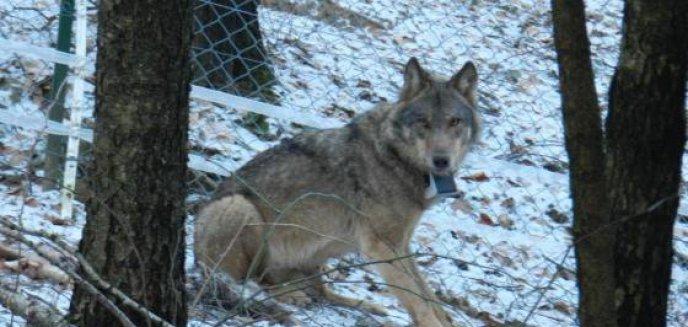 Artykuł: Młoda wilczyca nie poradziła sobie na wolności. Wróciła do ośrodka pod Olsztynkiem