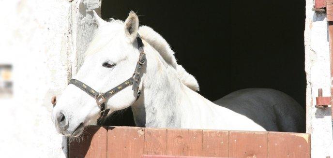Artykuł: Skradzione w Niemczech konie odnaleziono pod Olsztynem