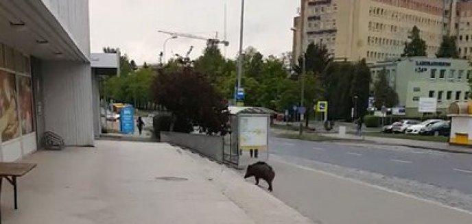 Dziki polubiły Olsztyn. Tym razem zwierzę pojawiło się w centrum miasta [WIDEO]