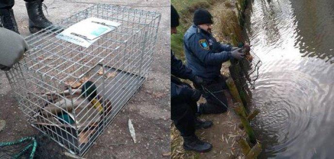 Ranna kaczka w parku Kusocińskiego w Olsztynie. Interweniowali strażnicy miejscy [ZDJĘCIA]